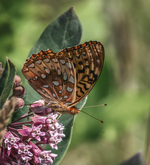 On Balance (Portraying Life, LLC) Tags: michigan unitedstates butterfly flower meadow pentax k1 da3004 hd14tc handheld nativelighting closecrop