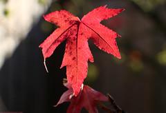 Autumn Leaves (Rick & Bart) Tags: hasselt sintlambrechtsherk garden tuin nature leaves leaf autumn fall herfst red rickvink rickbart canon eos70d