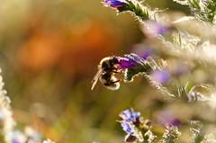 Auf der suche.....In search.. (thorvonassgard) Tags: biene blüte pflanzen nektar sonne herbst sammeln fliegen wiese felder bee blossom plants nectar sun fall collect flying meadow fields