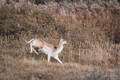 AR2018_1109_AWD_6164 (Adri Rovers) Tags: awd noordholland vogelenzang damhert fallowdeer gewervelden zoogdieren