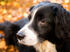 Autumnal Portrait (Captain192) Tags: dog dogs collie spaniel spanielcolliecross sprollie bordercollie outwoods theoutwoods woods trees leaves autumn fall