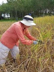 Rice Harvest 20 (SierraSunrise) Tags: agriculture esarn farming harvest isaan manual nongkhai paddy paddyrice phonphisai rice ricepaddies ricepaddy thailand