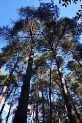 Pine trees by the South Downs Way 1 (Leimenide) Tags: north downs way pine trees nature autumn england surrey
