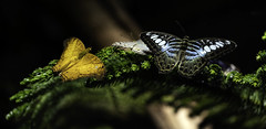 Butterfly II (Joe Josephs: 3,166,284 views - thank you) Tags: butterflies insects science animals nature naturephotography americanmuseumofnaturalhistory nyc newyorkcity sciencemuseum travel travelphotography