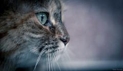 Watching The Rain (Melissa M McCarthy) Tags: bella cat kitty face portrait closeup macro green eyes pretty animal pet cute profile furry fuzzy canon7dmarkii sigma105mmmacro