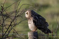 Short-eared owl (Steve Balcombe) Tags: bird shorteared owl asio flammeus steart marshes somerset uk