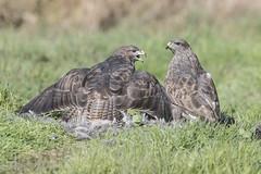 Buzzard (Buteo buteo) (phil winter) Tags: buzzard pair raptor birdofprey mantling henpheasant