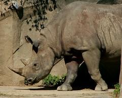 Rhino 2 (Emily K P) Tags: milwaukeecountyzoo zoo animal wildlife blackrhinoceros rhinoceros rhino grey gray tan texture monotone