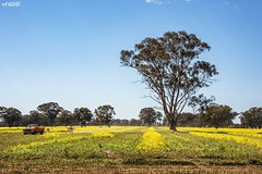 Harvest Time (red stilletto) Tags: northeastvictoria dookie canola spring wattle farm farming