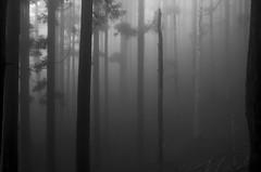 Mountain cedar (Andrew Allan Jpn) Tags: lowkey pentax ricohgr japan hiking mist monochrome blackandwhite nara ominesan zen peace spooky morning absoluteblackandwhite