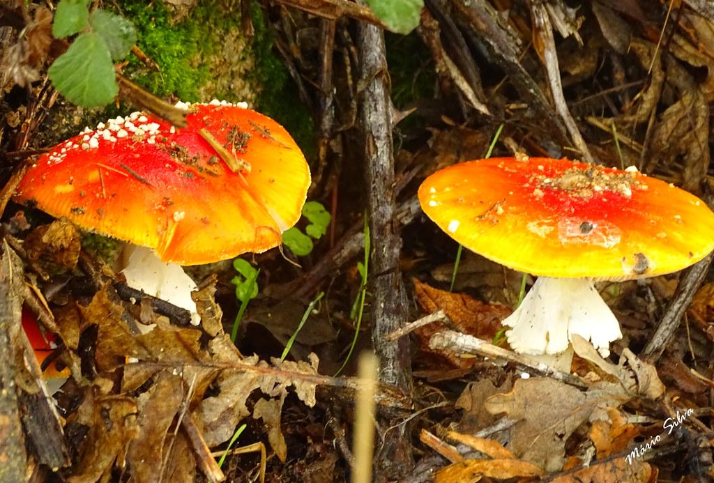 """Águas Frias (Chaves) - ... cogumelos (daqueles que só pelo visual avisam que o """"veneno"""" está bem presente) ..."""