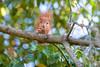 Hoernchen-2018-3371.jpg (Joachim Dobler) Tags: eichhörnchen eichhoernchen squirrel écureuil ardilla scoiattolo esquilo nature natur nagetier esquito wildlife animal cute naturephotography squirrellove wildlifephotography bestsquirrel nutsaboutsquirrels cuteanimals