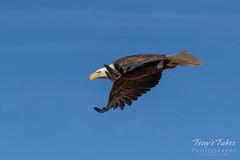 November 19, 2018 - A Bald Eagle takes flight in Adams County. (Tony's Takes)