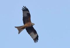 DSC_2274 Red Kite (PeaTJay) Tags: nikond750 tamron reading lowerearley berkshire outdoors nature birds birdsofprey redkite