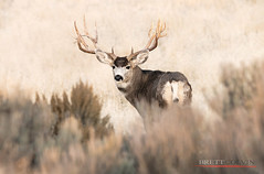 The Lookback (Fly to Water) Tags: mule deer odocoileus hemionus big game trophy antlers non typical nontypical utah western outdoors outside professional wildlife photography wild buck rut rutting