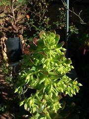 Aeonium arboreum flower buds
