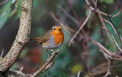 DSC06801 (simonbalk523) Tags: robin birds nature wildlife warnham sussex reserve sony tamron flying