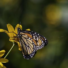 MonarchButterfly_SAF3184-2 (sara97) Tags: danausplexippus copyright©2018saraannefinke insect milkweedbutterfly missouri monarch monarchbutterfly nature photobysaraannefinke pollinator saintlouis towergrovepark towergrovepark2018