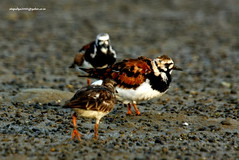 IMG_5500 Ruddy Turnstone (Arenaria interpres) (vlupadya) Tags: greatnature animal bird aves fauna indianbirds ruddy turnstone arenaria kundapura karnataka