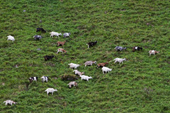A goat squadron on a mission (smir_001) Tags: sognefjorden aurland sognogfjordane ship cruiseship mountain fjords scenery goats herd grazing animals farmanimals beautifulscenery attraction tourism nature fauna outdoor panorama august summer næroyfjord canoneos7d norge norway norway2018 theflåmrailway norwayinanutshell
