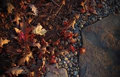 Shadow and light (Violet aka vbd) Tags: pentax k1ii k1markii hdpentaxda55300mmf4563edplmwrre ct connecticut newengland vbd leaves japanesemaple fall fallcolor foliage autumn handheld 2018 fall2018 trumbull manualexposure