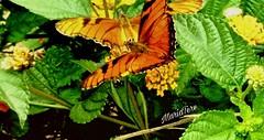 Mariposas... (MariaTere-7) Tags: animales insectos mariposas colores lanaturaleza avenidacostanera lima perú mariatere7