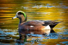 Male American Wigeon (djrocks66) Tags: duck fowl water lake pond ny long island nature wildlife bird animal animals potdoors boating fishing fall color wigeon portrait nikon d500 sigma 150600mm