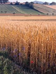 Grano maturo nella campagna umbra (estate 1976) (giorgiorodano46) Tags: luglio1976 july 1976 giorgiorodano grano corn campo meadow summer estate umbria italy