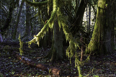Forest 2940 (All h2o) Tags: olympic national forest peninsula pacific northwest tree log wood moss plant nature landscape autumn fall season light sunlight