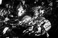 Catching the Light (Shastajak) Tags: leaves autumnleaves light shade sunlight contrasts monochrome blackandwhite
