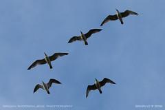 Gulls flyover (srkirad) Tags: animals birds gulls flock flying flyover formation sky sunset evening summer belgrade beograd serbia srbija