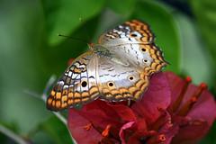 White Peacock; Anartia jatrophae (pontla) Tags: butterfly whitepeacock anartiajatrophae