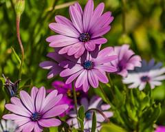 Purple Osteospermum Flowers (Merrillie) Tags: daisies flora purple nature flower outdoors osteospermums floral australia osteospermum flowers gardens