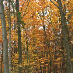 Autumn Forest III (ericgrhs) Tags: forest tree herbst autumn fall laub nature natur sauerland bäume nrw nordrheinwestfalen november