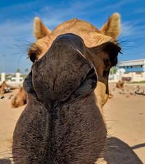 Souq Waqif - Doha, Qatar (fisherbray) Tags: fisherbray qatar stateofqatar دولةقطر dawlatqatar addawhah addawha addōḥa doha الدوحة google pixel2 souqwaqif سوقواقف thestandingmarket souq camel dromedary camelusdromedarius arabiancamel