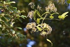 Clematis vitalba (esta_ahi) Tags: penedès muntsarra barcelona spain españa испания clematis vitalba clematisvitalba ranunculaceae enredadera flora plantas silvestres