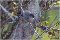 Bushtit 1632 (maguire33@verizon.net) Tags: bushtit madronamarsh psaltriparusminimus bird wildlife torrance california unitedstates us