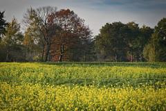Yellow (Geert E) Tags: yellow red autumn fall raapzaad bloem koolraap herfst geel gelb jaune rapeseed field colza champs tree arbre baum raps rübsamen