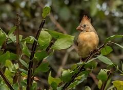 Female Cardinal (marielochphotography) Tags: cardinal bird nature backyard manchester nj coth5 outside green trees camera