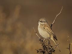 IMG_0245-2 (Sebastian Orue) Tags: birds birding nature texas animal bird tree tamron canon7d canon grassland biology conservation sagebrush sparrow