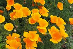 Nature is an Artist (Eclectic Jack) Tags: natureisanartist smileonsaturday poppy orange flower macro closeup green
