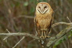 Lady Barn Owl (speymeiser) Tags: owls