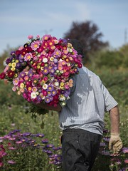 Récolte multicolore *-*-- ° (Titole) Tags: man behind back flowers many colourful bouquets friendlychallenges storybookwinner
