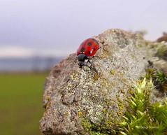 Eleven Spot Ladybird2 Portencross Road 25Jan19 (g crawford) Tags: ladybird ladybug coccinellaundecimpunctata eleven elevenspot beetle insect macro crawford red portencrossroad portencross westkilbride ayrshire northayrshire
