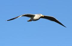 Yellow-legged Gull in flight (Wild Chroma) Tags: larus michahellis larusmichahellis birds gull inflight nonpasserines ludo faro algarve riaformosa portugal