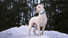 Picture of the Day (Keshet Kennels & Rescue) Tags: adoption dog ottawa ontario canada keshet large breed dogs animal animals pet pets field nature photography winter snow dogo argentino cropped ears proud stance pose forest treeline hill white regal
