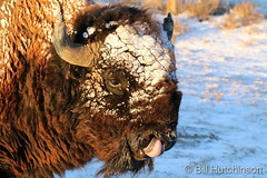November 25, 2018 - A Bison coated in snow. (Bill Hutchinson)