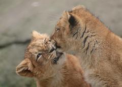 asiatic lion Blijdorp 094A0849 (j.a.kok) Tags: leeuw lion animal azie aziatischeleeuw asia asiaticlion mammal zoogdier dier predator pantheraleopersica blijdorp lioncub welp leeuwenwelp cub asianlioncub