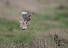 Kestrel Burwell Fen-5881 (seandarcy2) Tags: bif falcon birdsofprey raptors kestrel fenland cambs uk handheld