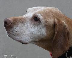 Nugget (RCB4J) Tags: ayrshire ayrshirecoast babygrace clydecoast firthofclyde gailes irvinebeach jakob rcb4j ronniebarron scotland siameselurcher sony18250mmf3563dtaf sonyilca77m2 trailhound art dobermanterrier dogwalking dogs photography on1 on1pics portrait olddog nugget vizsla character age